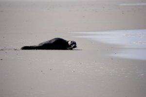 Fridos Seehund